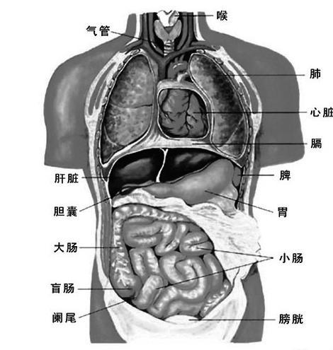身体内部构造图解