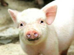 [健康产业热闻] 2016,猪都开始健康管理了……